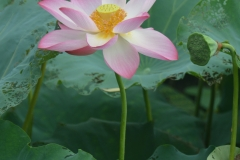 Lovely Lotus Blossoms
