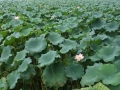 A Field of Lotus Plants