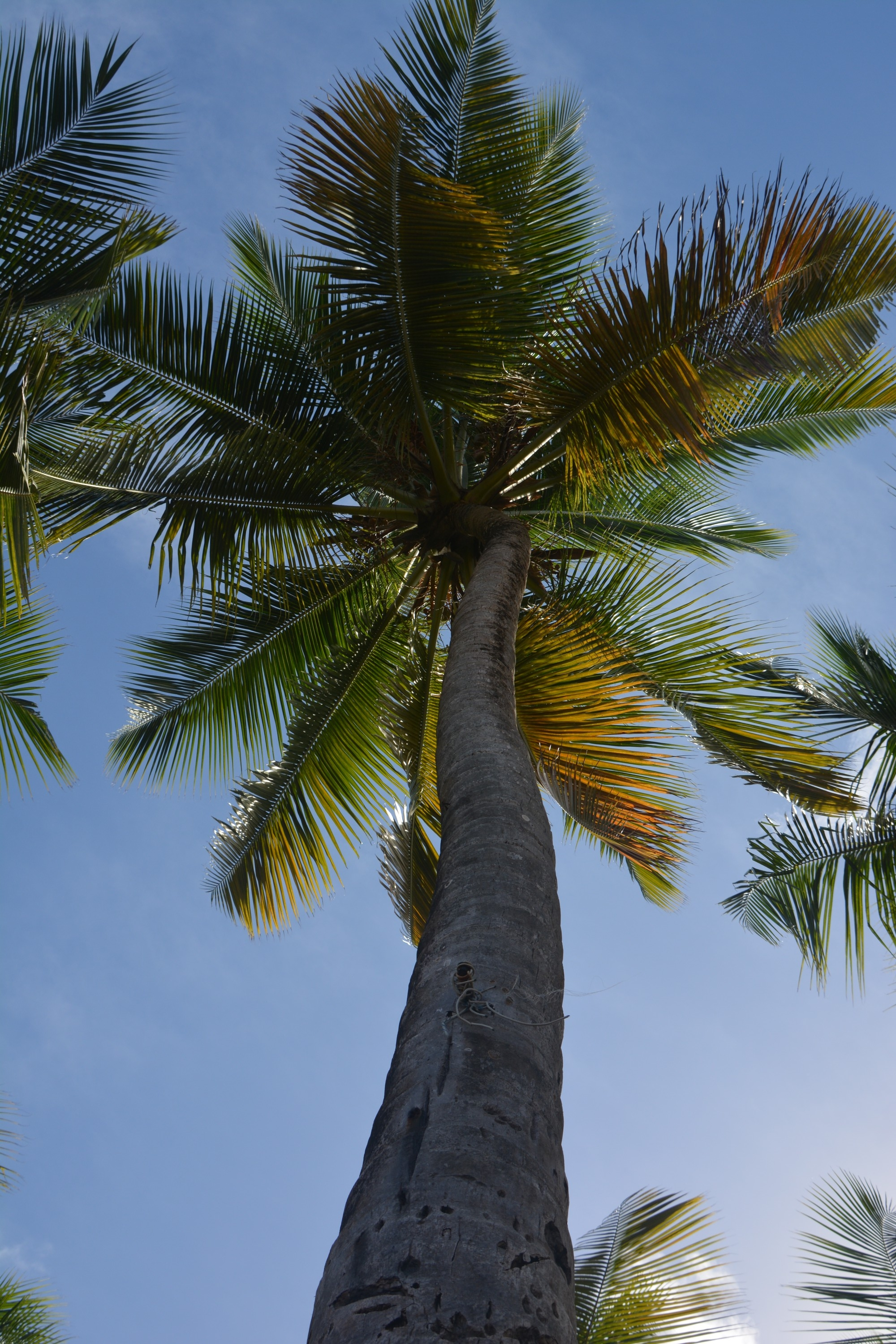 Looking Up At A Coconut Palm Tree