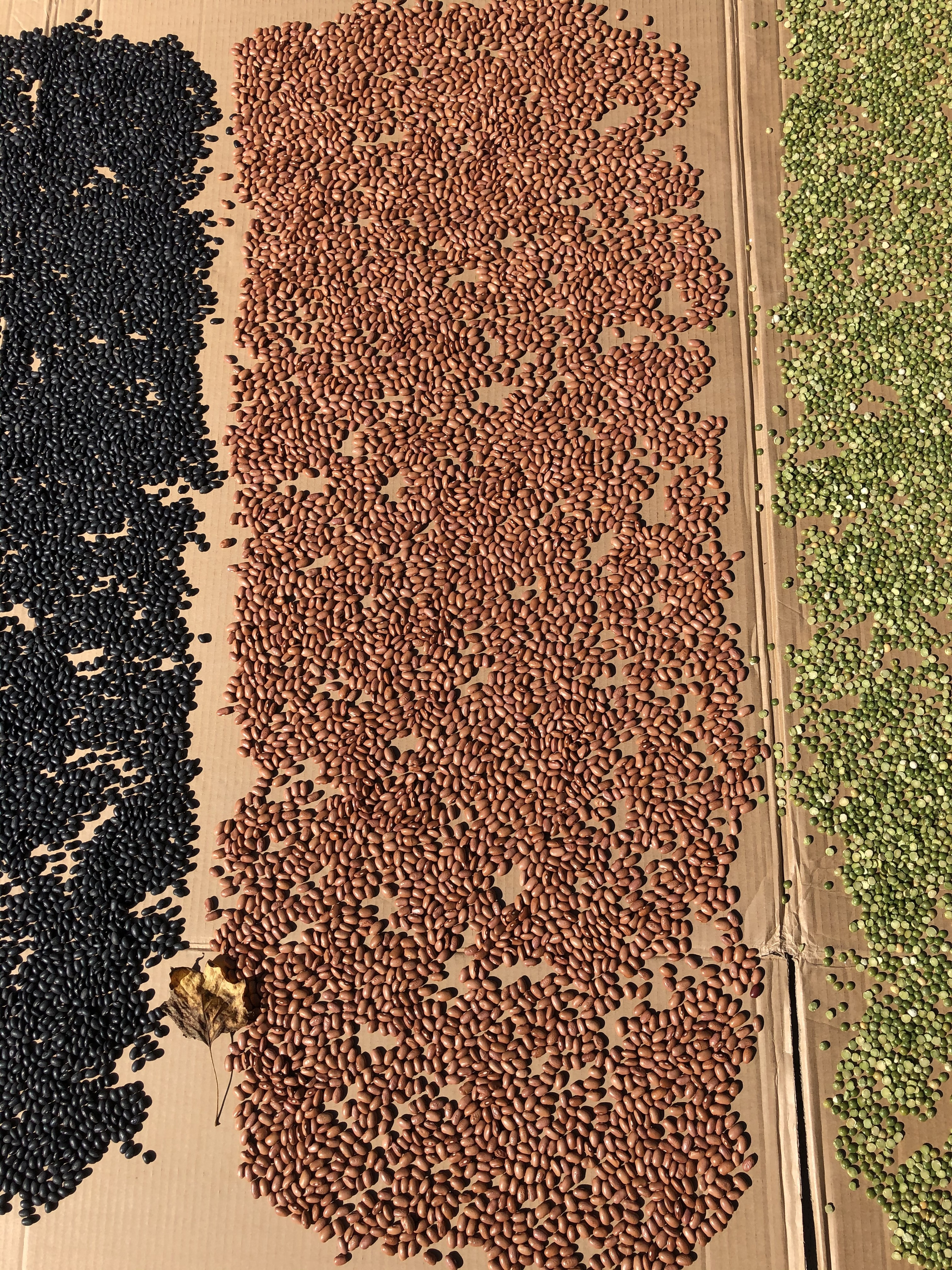 A Field of Beans