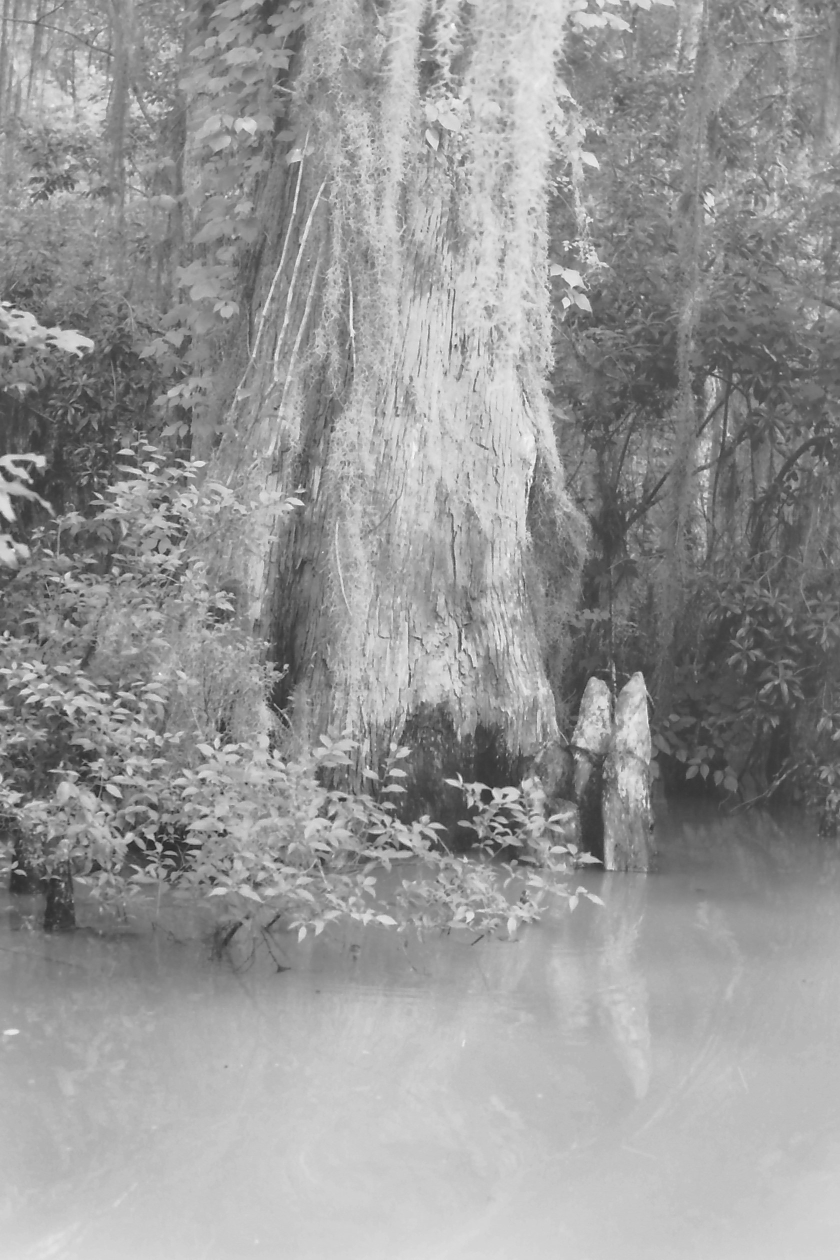 Cypress Knees In Black And White