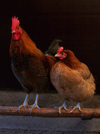 A pair of chickens - hen and rooster