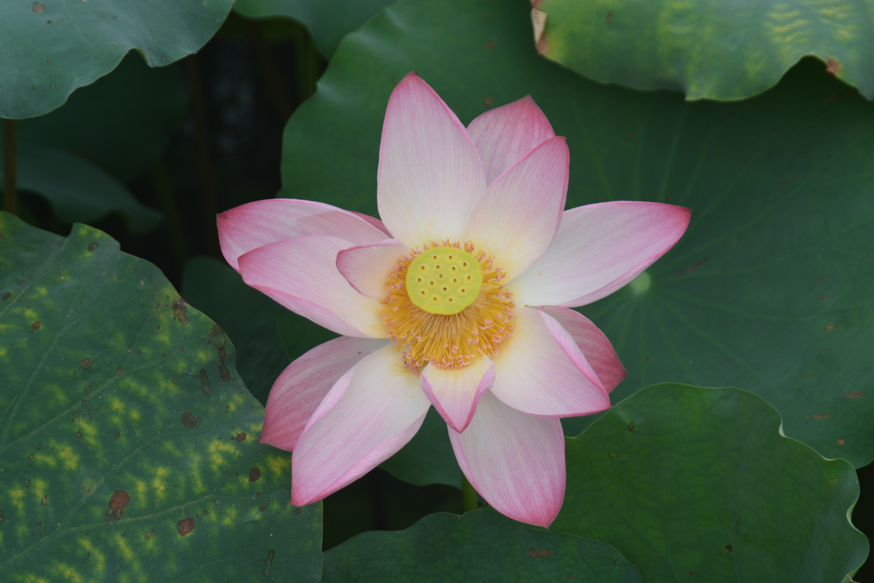 An image of a lovely lotus blossom, West Lake, Hangzhou, China